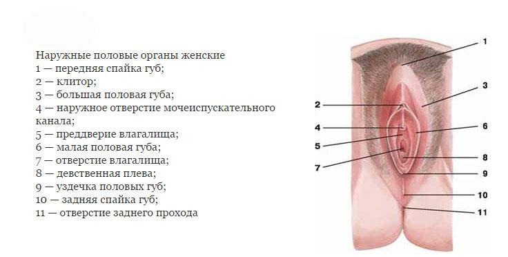 женские половьіе органы фото описание