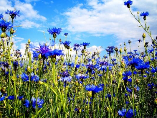 голубые васильки текст песни