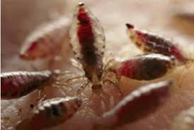 лечение от паразитов семеновой